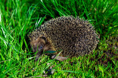 Hedgehog in the green grass closeup Royalty Free Stock Images