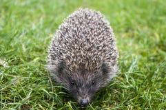 Hedgehog on green grass Stock Photography