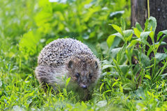 Hedgehog among the green grass in the garden Royalty Free Stock Photo