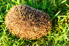 Hedgehog on green grass Stock Images
