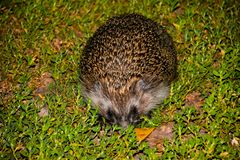 The hedgehog on the green grass. Summer. Hedgehog, wild, European hedgehog on green grass with green background. In natural, outdo royalty free stock image