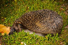 The hedgehog on the green grass. stock photos