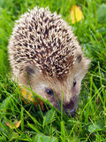 Hedgehog on the green grass. Vertical portrait showing close-up of a young hedgehog on the green grass, with autumnal leafs near it Stock Photo