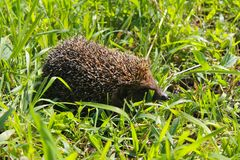 Hedgehog on green grass stock image