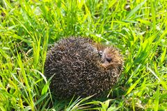 Hedgehog on green grass Royalty Free Stock Image