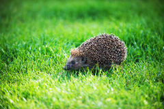Hedgehog on green lawn Royalty Free Stock Images