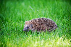Hedgehog on green lawn Stock Photos