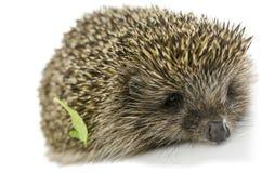 Hedgehog with green leaf Stock Images