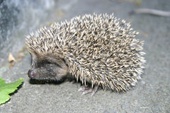 Hedgehog and a green leaf Stock Photography