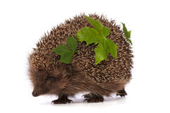 Hedgehog with green leafs Stock Photography
