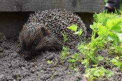 Hedgehog on the ground & x28;Erinaceus europaeus& x29;. Hedgehog on the ground & x28;Erinaceus europaeus& x29 Stock Photos