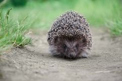 Hedgehog on the ground Royalty Free Stock Photos