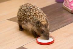 Hedgehog in the hallway drinking milk caps Stock Images