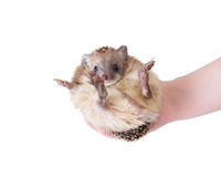 Hedgehog in the hand Royalty Free Stock Photography