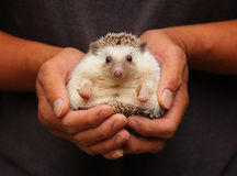 Hedgehog in hand. Cute porcupine in a hand warmer Royalty Free Stock Images