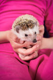 Hedgehog in hand Royalty Free Stock Photo