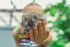 Hedgehog on hand royalty free stock photo