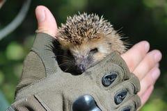 A hedgehog. Stock Image