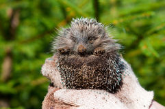 Hedgehog on hands. Small Hedgehog on hands on a green background Royalty Free Stock Image
