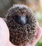Hedgehog in hands. Of human Royalty Free Stock Photography