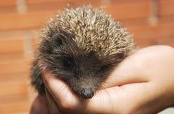 Hedgehog in hands Stock Photos