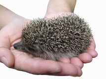 A hedgehog is in hands. Stock Image