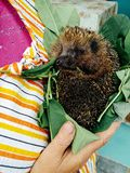Hedgehog in the hands royalty free stock photos