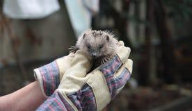 Hedgehog Stock Images