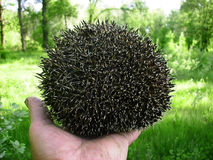 Hedgehog  in the hands of a man Stock Photos