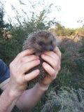 Hedgehog in the hands of Stock Photos