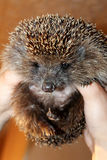 Hedgehog in the hands of man. Royalty Free Stock Photography