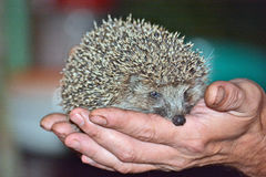 Hedgehog in the hands of men Royalty Free Stock Photos