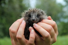 Hedgehog hands. Hands mini hedgehog animal Stock Photo