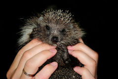 Hedgehog in the hands of the muzzle to the camera. On a black background Royalty Free Stock Images