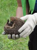 Hedgehog in the hands of a person Royalty Free Stock Photo