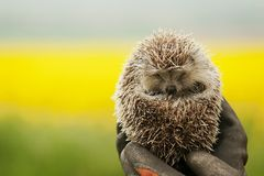 Hedgehog in the hands Stock Photo