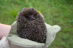 Hedgehog in hands. Small Hedgehog curled in the hands outdoor Stock Photos