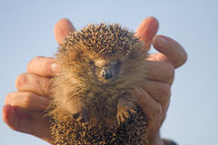 Hedgehog in hands trust leaving care Royalty Free Stock Photos