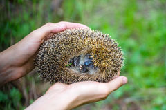 Hedgehog in hands trust leaving care Royalty Free Stock Photography