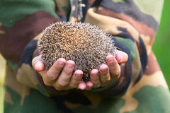 Hedgehog in hands trust leaving care Stock Photo