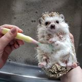 Hedgehog has a bath! stock images