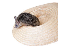 Hedgehog and hat Stock Photos