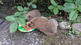 Hedgehog are having lunch. Cute animals who need food Royalty Free Stock Images