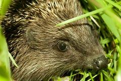 Hedgehog Head Close Up Royalty Free Stock Photos