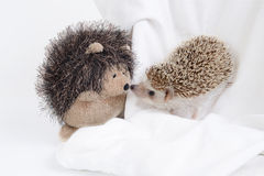Hedgehog and hedgehog doll. Royalty Free Stock Photography