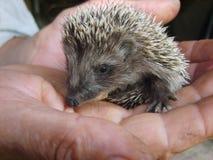 Hedgehog, Hedgehog in his hands Stock Images
