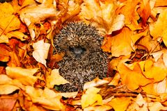 Hedgehog hibernating in golden brown Autumn leaves. Hedgehog hibernating and curled into a ball surrounded by brightly coloured golden brown Autumn, Fall, leaves Stock Photo