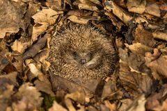 Hedgehog hibernating in golden brown Autumn leaves. Hedgehog hibernating and curled into a ball surrounded by golden brown Autumn, Fall, leaves. Native, wild stock image