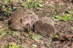 Hedgehog with his family royalty free stock image