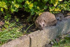 Two Hedgehog baby with his family royalty free stock photos